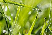picture of raindrops  - Blades of fresh green grass with glistening dewdrops or raindrops and a background bokeh of sparkling sunlight on moisture nature eco or bio background - JPG