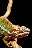 picture of panther  - Close up of a Panther Chameleon  - JPG