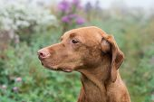 stock photo of vizsla  - A female Vizsla dog  - JPG