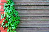 picture of bine  - Curly Parthenocissus on the background of a wooden fence with brick pillars - JPG