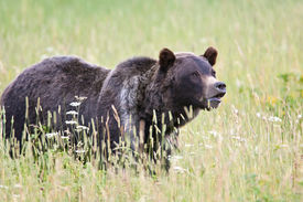 picture of lamar  - Young grizzly bear in Lamar Valley - JPG