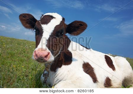 Attentive Black And White Cow In A Field