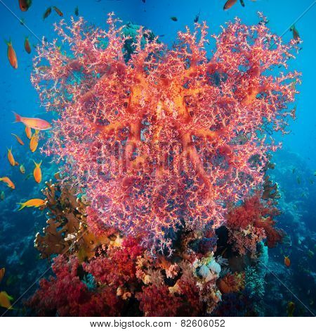 Valentine heart made of corals (Dendronephthya hemprichi) on blue water background
