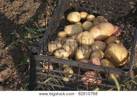 Just Fresh Dug Potatoes In A Box Closeup