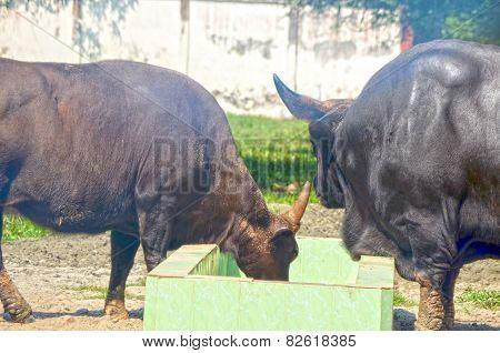 Closeup Portrait of a Bull in farms field