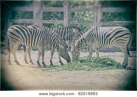 Very closeup of African Zebra