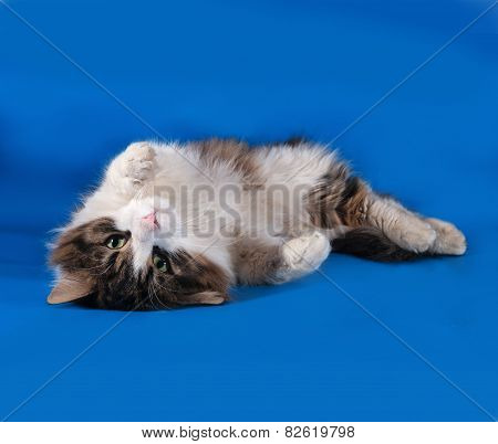 Tricolor Cat Rolls On Blue