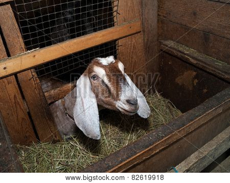 Nubian Brown Goat In Barn