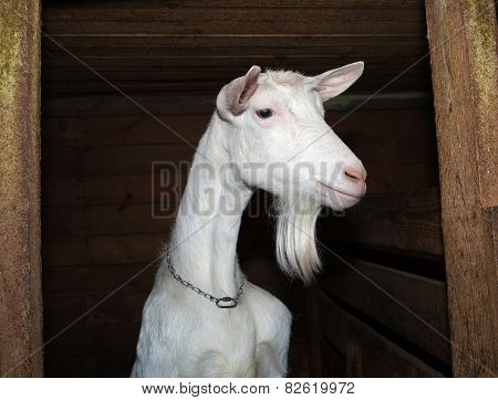 Saanen White Goat In Barn