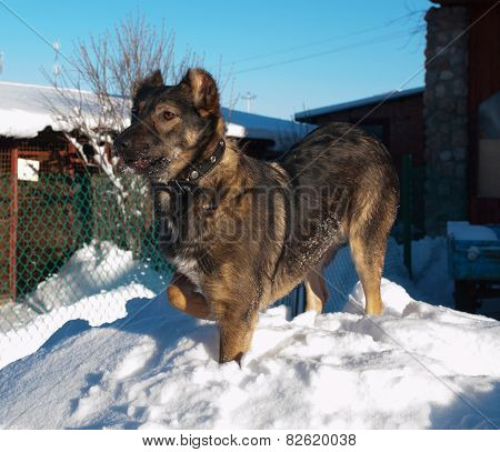 Gray Dog With Cropped Ears On Snow And Sky