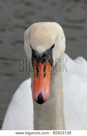 Close-up Of White Swan.