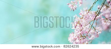 Spring shidarezakura (weeping cherry) cherry blossom with early spring green soft pastel green background. Title header dimension image. Intentionally shot with shallow depth of field.