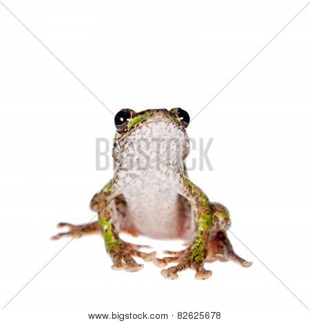 Polypedates duboisi, flying tree frog on white