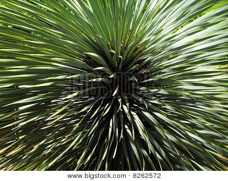 Spiky green yucca plant