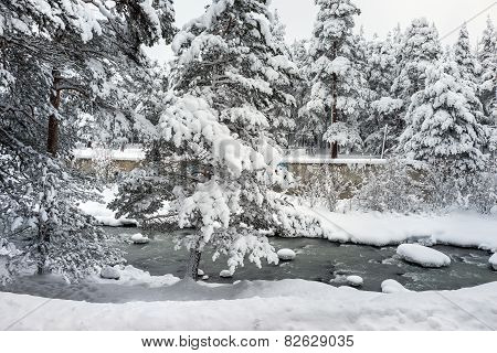 Snowy Landscape Of Pine Forest Near The River