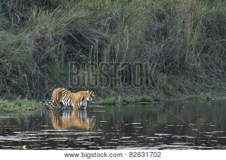 Bengal Tiger In Bardia, Nepal