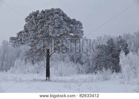 Lonely frosted pine