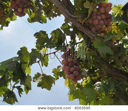 Grape Crop