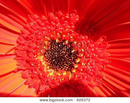 Blossom of Transvaal daisy