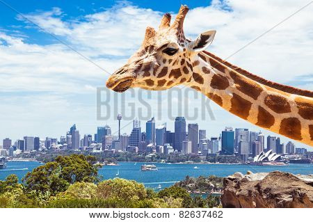Giraffe at  Zoo, Sydney looks towards the financial district. Australia.