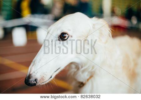 Dog Russian Borzoi Wolfhound
