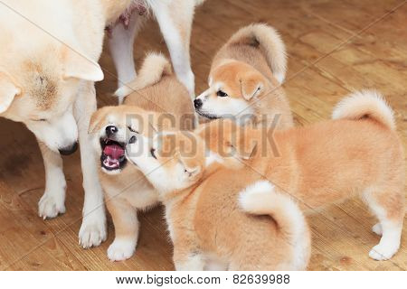 Joyful Japanese Akita-inu Breed Dog Family