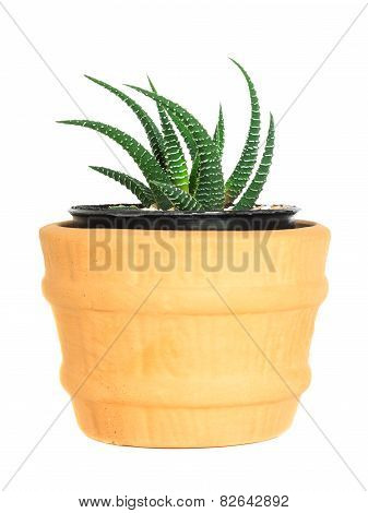 Cactus ( Pereskia ) On Isolated Background ( Cereus Hexagonus Mill )
