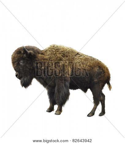 Digital Painting Of American Bison