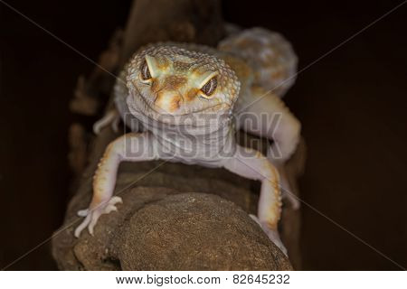 Gecko facing camera