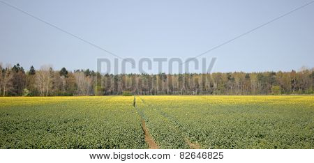 Rapeseed With Trails.