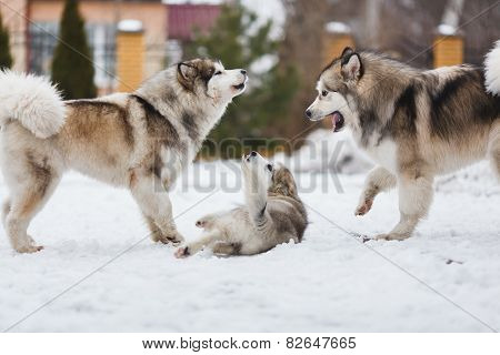 Family Dog Breed Of Malamutes