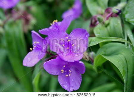rain drops on the spiderwort flower