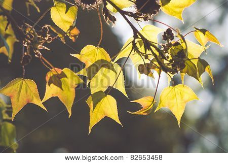 maple trees in Thailand
