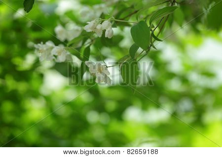 jasmine flowers on the bush closeup