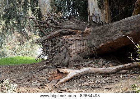 Dry Tree Roots Eucalyptus.