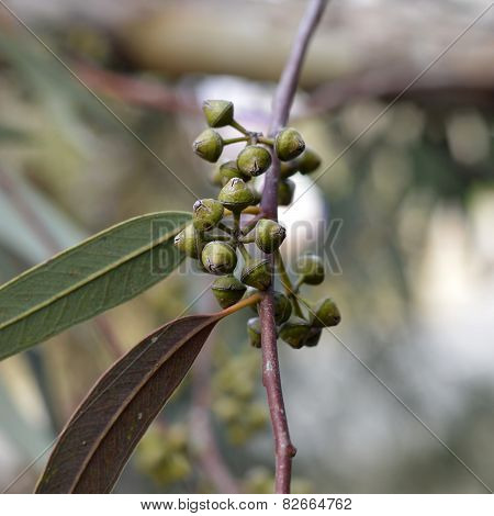 Eucalyptus Trees.