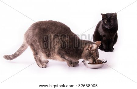 Blue tabby cat eating from a silver bowl with a black cat watching her, on white