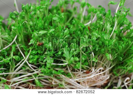 Fresh cress salad on wooden planks background