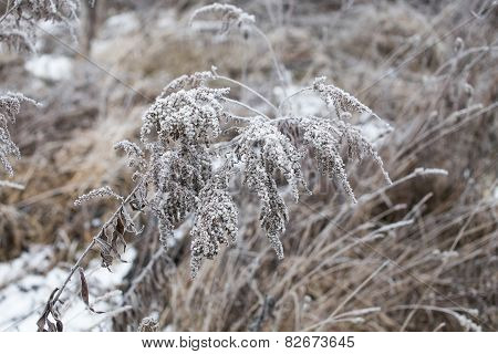 Grass Covered With Hoarfrost