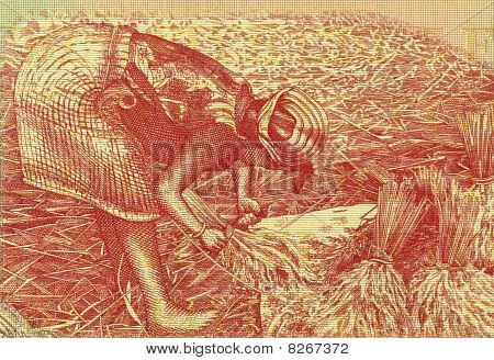 Indonesia - Circa 1987: Woman Harvesting Rice