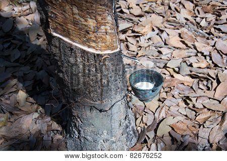 para rubber tree