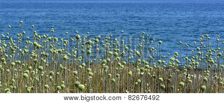 Wild plant with green balls Allium