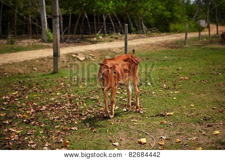 Shy calf