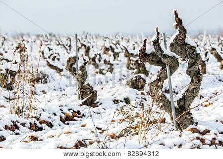 Old Vineyard In The Snow