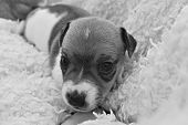 picture of jack russell terrier  - Puppy Jack Russel Terrier in a blanket black and white - JPG