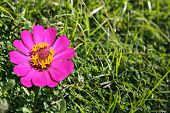 stock photo of zinnias  - pink Zinnia flower, Zinnia flower in full bloom.