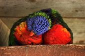 image of lorikeets  - Two rainbow lorikeets snuggling with each other