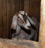 image of nubian  - Nubian nice beautiful brown goat in barn - JPG