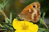image of gatekeeper  - A beautiful Gatekeeper butterfly resting on a yellow potentilla flower - JPG