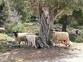 picture of suffolk sheep  - Sheep wandering freely around an olive tree in greece - JPG